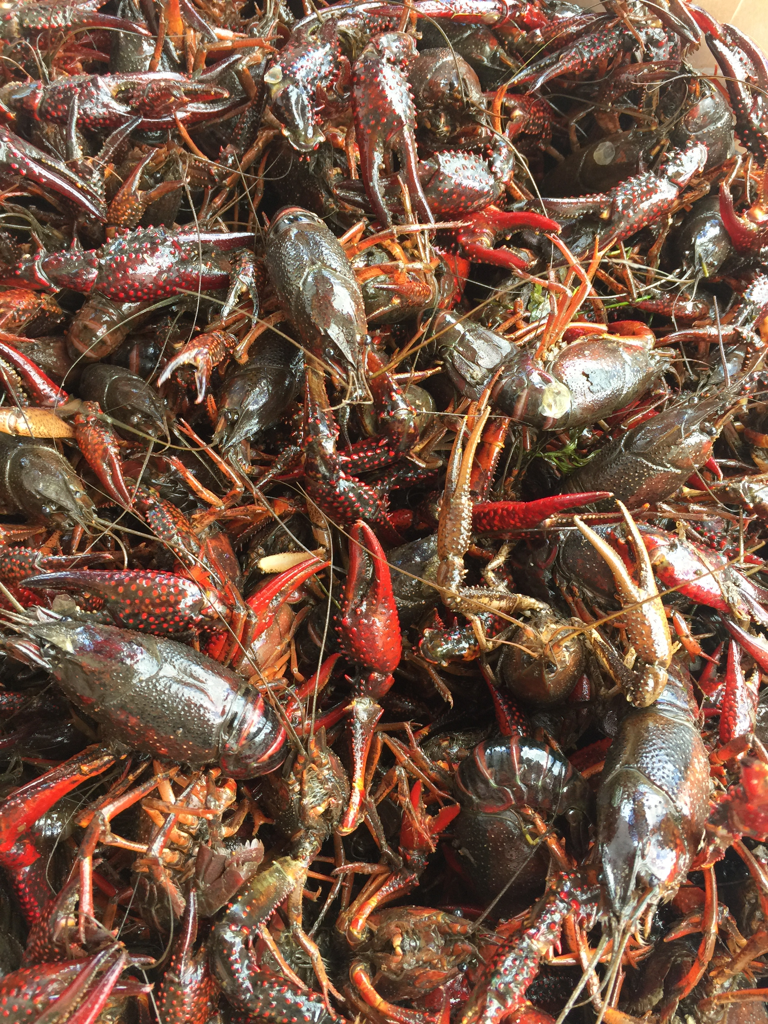 crawfish_size