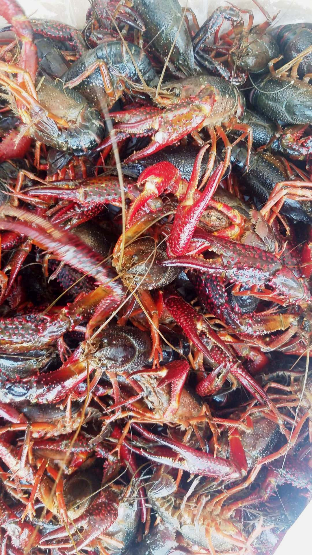 Live Crawfish and Seafood Shipped to Door/Airport